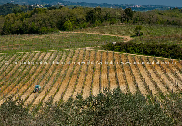 Vine growing in rural Tuscany. Italian images.