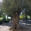 Olive tree , Lady of the Ark Covenant Church, Abu Ghosh
