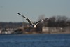 The place I went to watch planes is also a wildlife refuge for birds. It's called Jamaica Bay Wildlife Refuge. In the next several photos I go some really amazing photos of Seagulls. I was an ocean bank facing the Atlantic. I have to say I got emotional several as I worked on these because they all came out great!!! I will be selling some of these Seagull photos.