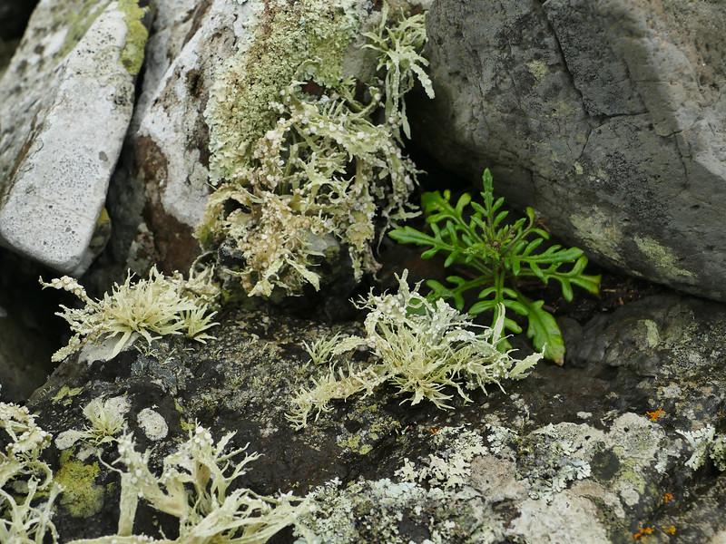 Cook's scurvy grass & foliose lichen
