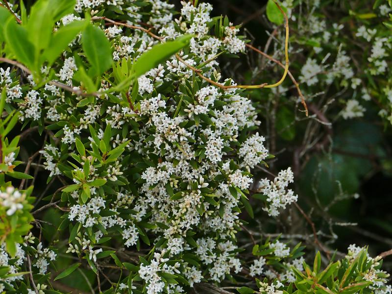Pouteretere (Leptecophyllus robusta)
