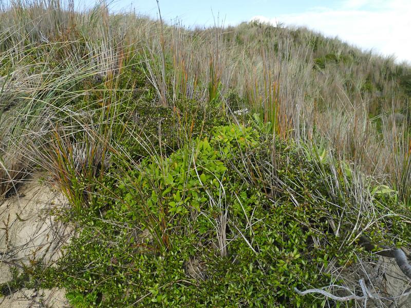 Sand coprosma (Coprosma acerosa)
