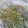 Coprosma propinqua var. martinii