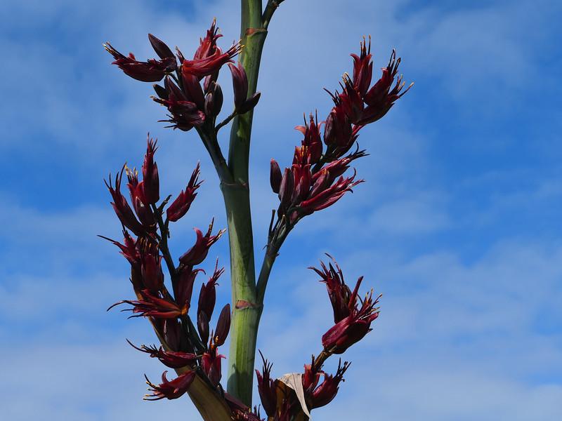 Chatham Islands flax, Harakeke (Phormium aff. tenax)