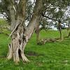 Chatham Akeake (Olearia traversii)