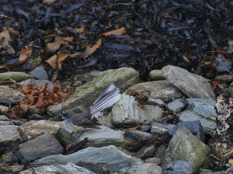 Chatham Island fantail (Rhipidura fuliginosa penita)