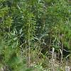 Chatham Island lancewood (Pseudopanax chathamicus)