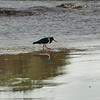 Chatham Island pied oystercatcher (Haematopus chathamensis)