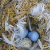 Black robin egg & Chatham Island tomtit eggs