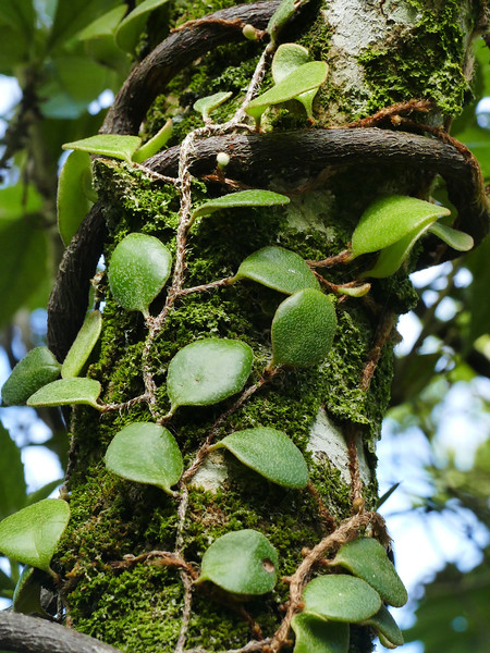 Bootlace fern (Grammitis sp)