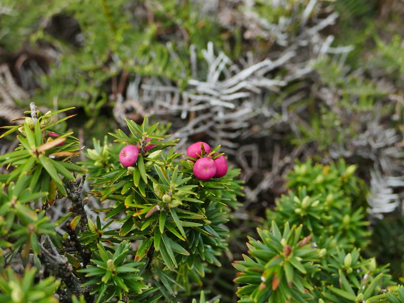 Mingimingi (Cyathodes robusta)