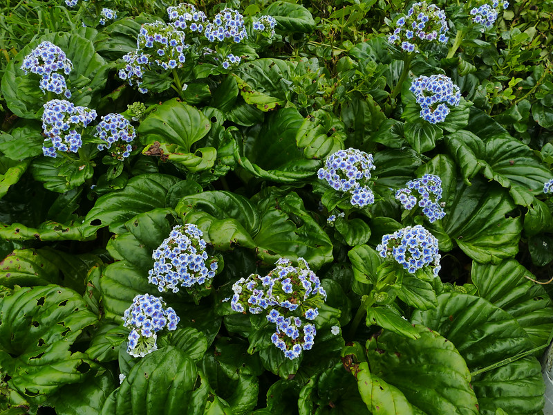 Chatham Islands forget-me-not (Myosotidium hortensia)
