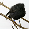 Chatham Island black robin (Petroica traversi) in museum