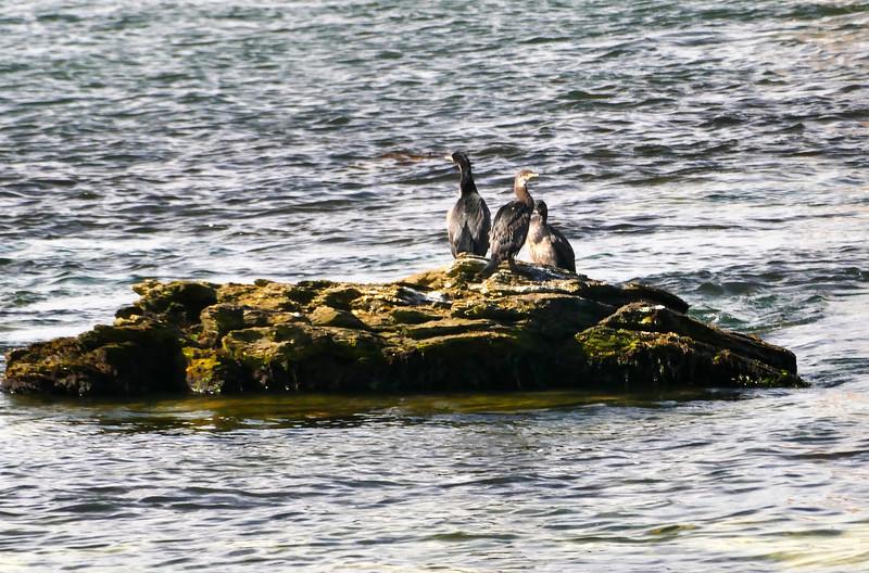 Pitt Island shag (Stictocarbo featherstoni)