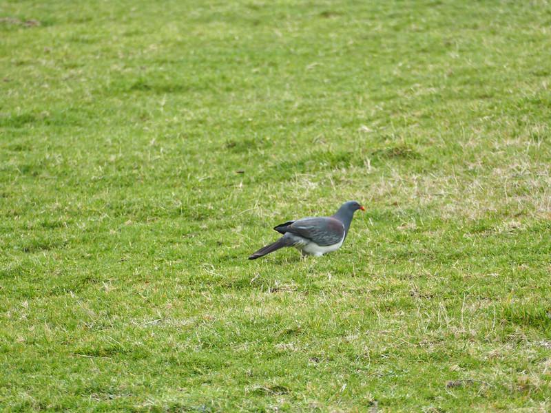Parea, Chatham Island pigeon (Hemiphaga chathamensis)