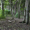 Karaka forest, Henga Reserve