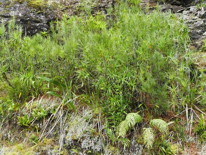 Tarahinau (Dracophyllum arboreum) in Parea Reserve