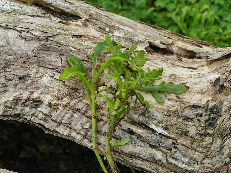 Cook's scurvy grass (Lepidium aff. oleraceum)