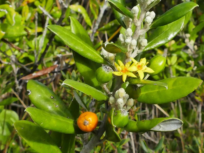 Hokataka (Corokia macrocarpa)