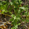 Chathan Island sow thistle (Embergeria grandifolia)