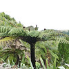 Wheki -ponga (Dicksonia fibrosa) in Parea Reserve