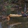 Beavers at work near Long Pond.