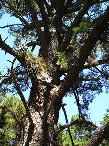 The grand Monterey Pine, which grows natively only in a few small pockets on the Monterey Peninsula. Apparently, however, it's an important timber crop overseas and there are more of it there than here in its natural habitat.