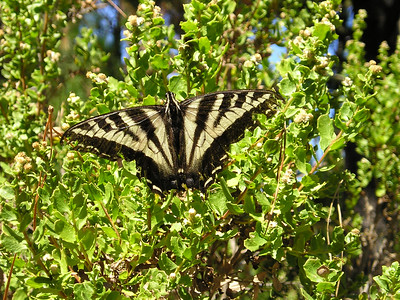 Although we saw little wildlife, this swallowtail butterfly kindly alit on a nearby shrub and waited until I could get close enough with even my cheap little point-and-shoot camera. Then he departed for parts unknown, perhaps Ghirardelli at Cannery Row for a hot fudge sundae. Which sounded like a good idea to us, too.