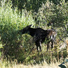 Moose just beside Moose-Wilson road