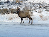 Road Scholar trip to Jackson Hole, Wyoming.  21-26 Jan 2018.  Out on the road we come across a number of Bighorn sheep and we stop to observe.  If vehichles stop they are sometimes attracted to the snow and ice buildup around the wheels of the vehicles.  They lick that since there may be some salt contained in it.  Jackson Hole uses mainly sand on their roads.