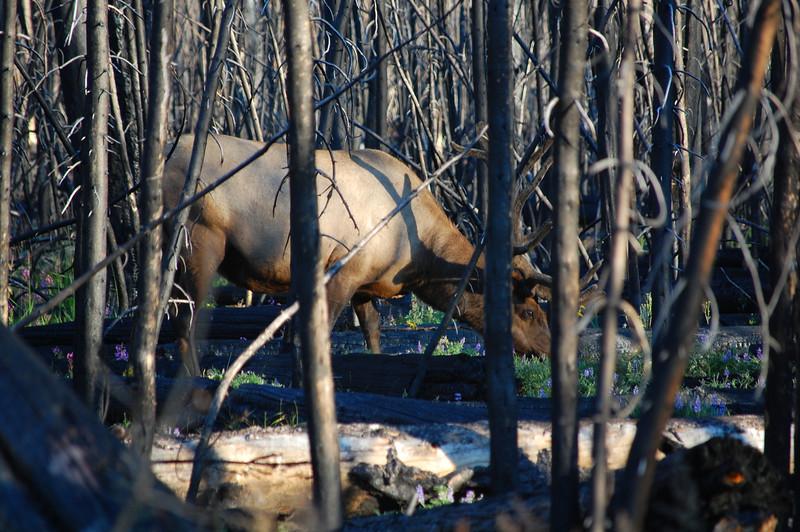 Ten-point Elk