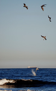 a composit of a single pelican diving for his dinner.