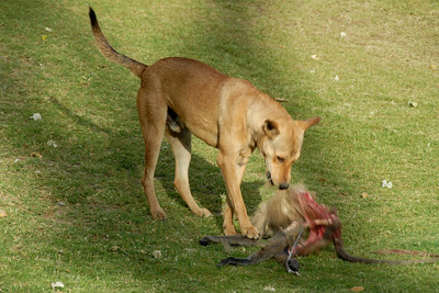 A dog at Kanak Vrindavan Garden ripping apart a caracas.  Kanak Vrindavan Garden also known as Kanak Ghati is a picturesque garden laid down in the Mughal style with lots of fountains and ponds. It has a complex of fine temples and gardens inside the colonnaded pavilion (1707) that has been restored recently by the Birlas. Kanak Vrindavan is an attractive spot both for tourists as well as locals who come for their share of outing on a picnic day. Visiting Hours: 0800-1700 Hours for garden and 0800-1900 Hours for the temple. Jaipur, RJ, India.