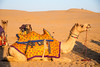 Camel rides at the Sam desert near Jaisalmer, Rajasthan, India.
