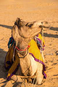 Camel rides at the Sam desert near Jaisalmer, Rajasthan, India.