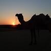 Camel at Khuri.