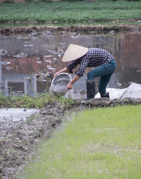 Yen Duc Village cultivating rice