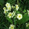 Primroses in the garden.