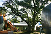 0013 Live Oak at Ohr Museum