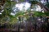 0008 Resurrection Fern on Oak