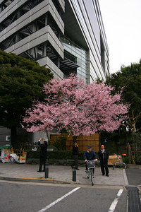 The first full-bloom cherry blossom tree I've seen!