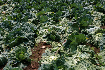 Cabbage field...