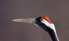 Japansk trana (Grus japonensis) Red-crowned crane