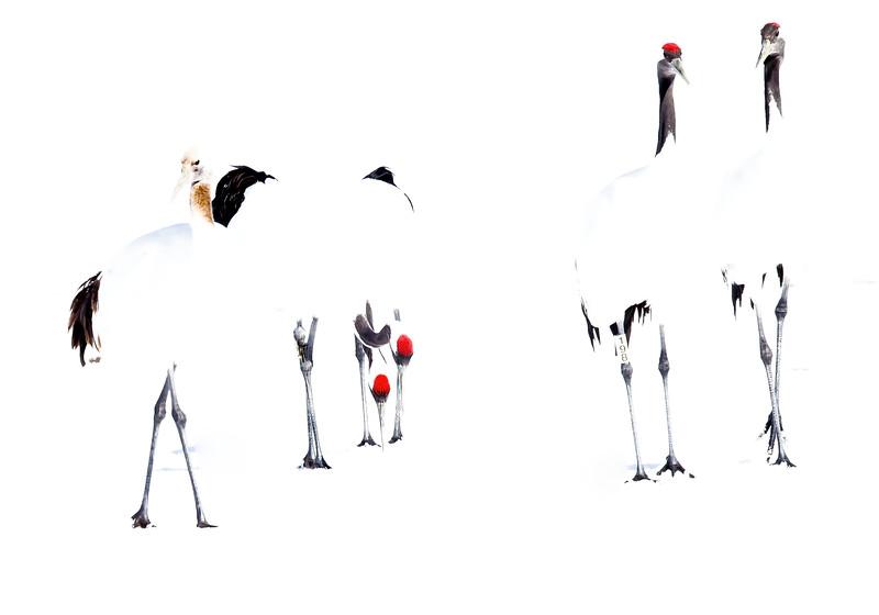 Japansk trana (Grus japonensis) Red-crowned crane <br /> in winterlandscape