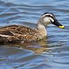 Östlig fläcknäbband, (Anas zonorhyncha), Eastern spot-billed duck