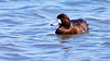Bergand,  (Aythya marila)  Greater scaup femail