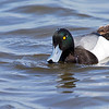 Bergand, (Aythya marila) Greater scaup