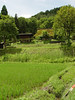 Village rice paddys