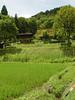Village rice paddys