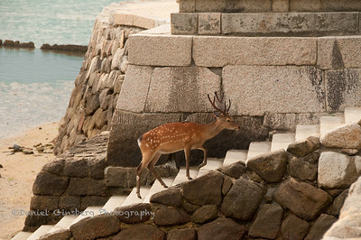 A buck walks up a staircase off the beach in Itsukushima (Miyajima), Japan.